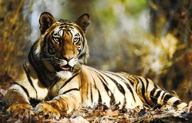 tigre-inde-population